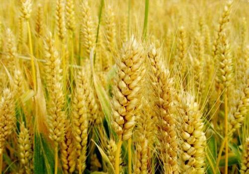河南小麦价格是多少钱一公斤?河南小麦最近行情怎么样?